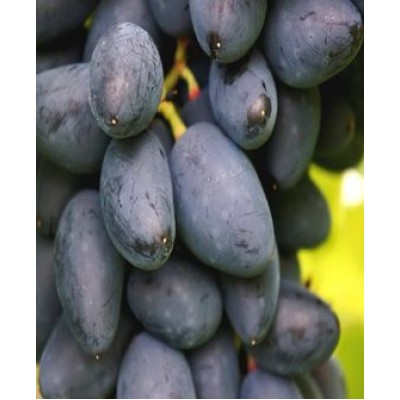 "Саженец винограда ""Викинг"""